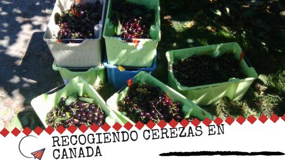 Trabajar Recogiendo Cerezas En Canada